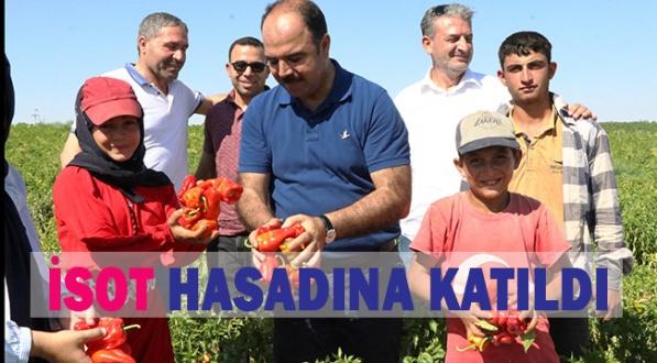 Başkan Çiftçi Tarlaya Gitti, İşçilerle İsot Topladı