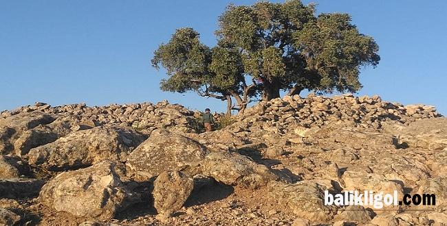 Şanlıurfa'da 2 bin yaşında zeytin ağacı bulundu