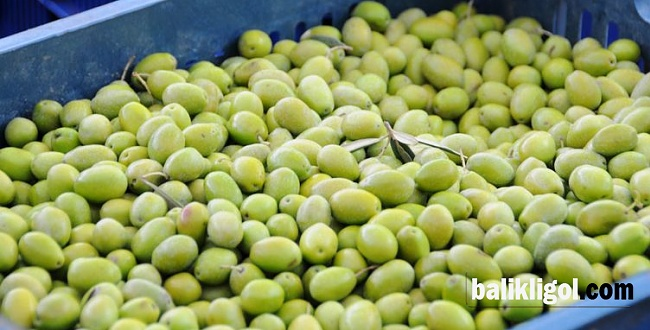 Yeni mahsul yeşil zeytin tezgaha çıktı