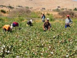 Suriyeliler pamuk topluyor