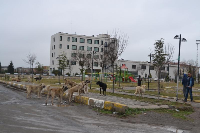Viranşehir'de sahipsiz köpekler tehlike saçıyor