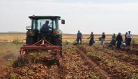 Hilvan'da ilk kez ekilen depoluk patatesin hasadı yapıldı
