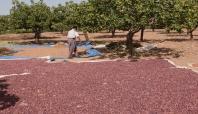 Fıstık mahsulü geçen yıllara göre 3 kat arttı
