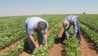 Kızıltepe'de ekilen soya fasulyesi umut veriyor