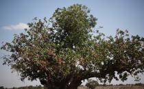 Antepfıstığının ilk hasadı asırlık ağaçlardan yapıldı