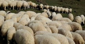 Siverek'te koyun sürüsüne otomobil daldı