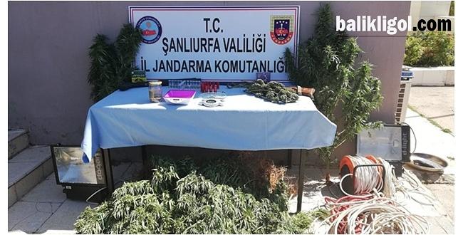 Şanlıurfa'da Jandarma ekiplerinden esrar operasyonu