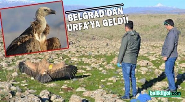 Şanlıurfa'da görülen Kızıl Akbaba tedavi edilerek doğaya salındı