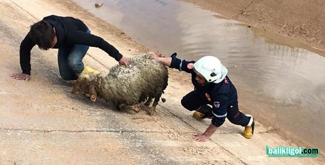 Sulama kanalına düşen koyunları itfaiye kurtardı