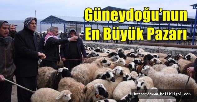 Bölgenin En Büyük Canlı Hayvan Pazarı Urfa'da Açıldı