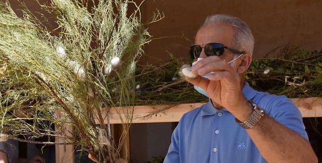 Şanlıurfa'da İpek böcekçiliği hasadı yapıldı