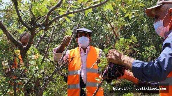 Aşılanan Yabani Ağaçlar köylünün gelir kaynağı oluyor
