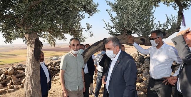 Urfa'da Bin 350 Yıllık Zeytin Ağacı Keşfedildi