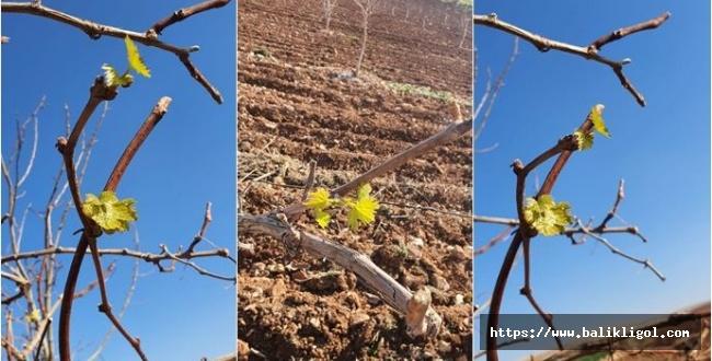 Urfa'da Kışın Ortasında Üzüm Asması Yeşerdi