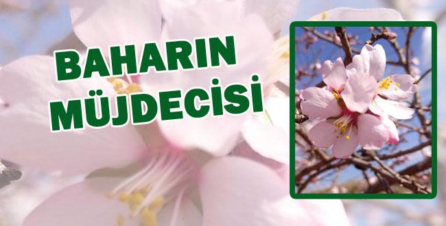 Urfa'da baharın habercisi badem ağaçları çiçek açtı