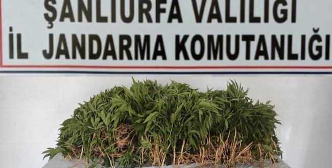 Suruç'ta kenevir bitkisi ele geçirildi