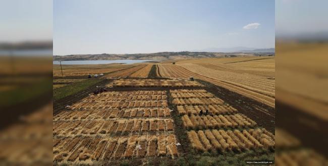 Urfa'da kuraklıktan etkilenmeyecek makarnalık buğday yetişme çalışmaları