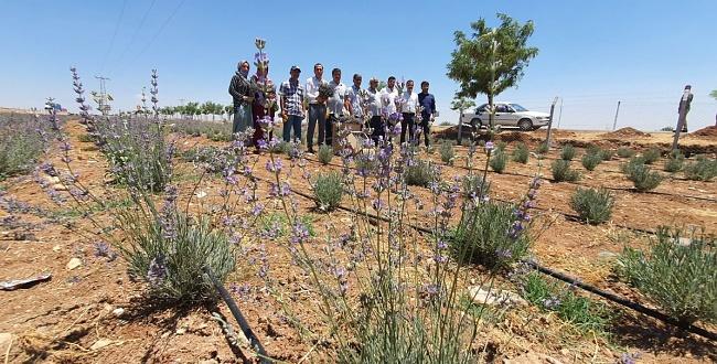 Suruç'ta ilk kez Lavanta hasadı başladı