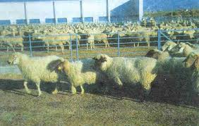 Suriye'den çalınan koyunlara operasyon
