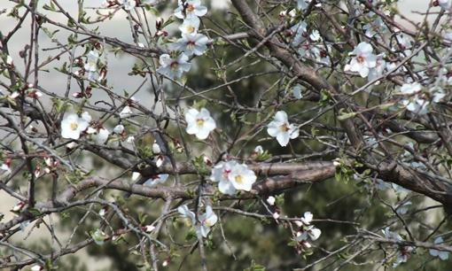 Urfa'da bademler çiçek açtı