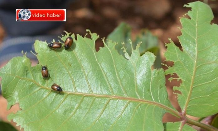Fıstık ağaçlarına böcekler musallat oldu-çiftçi tedirgin!