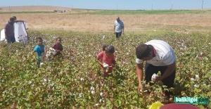 Şanlıurfa'da pamuk hasadı başladı