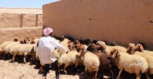 Türkiye'den Telabyad ve Resulayn'a Hayvancılık Desteği