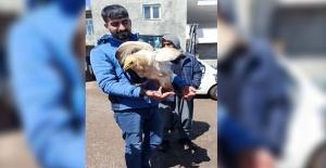 Siverek'te bir Mısır Akbabası yaralı olarak bulundu