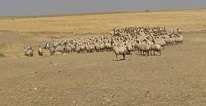 Ceylanpınar#039;da el konulan koyunlar...