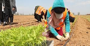 Şanlıurfa Büyükşehir Yerli Tohumlarla Kendi Biberini Yetiştiriyor