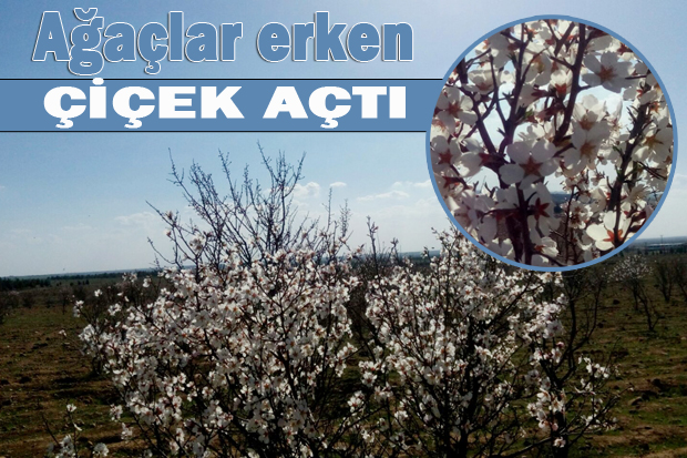 Urfa'da badem ağaçları erken çiçek açtı