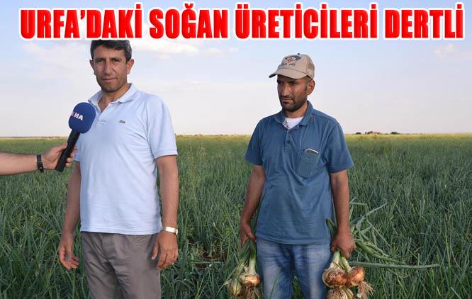 Şanlıurfa'daki soğan üreticileri dertli